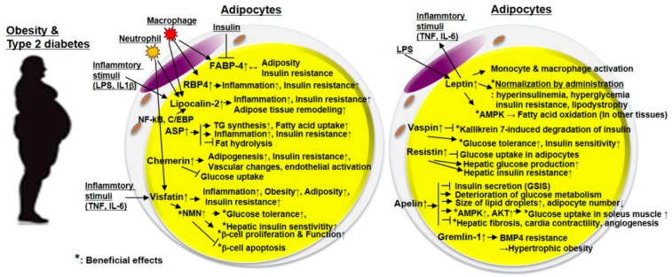 Adipokines Batokines And Mirna Molecular Markers Of Diabesity Biovendor